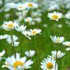 Cultivation of the Ordinary - Daisy virginia-lackinger-275900-unsplash